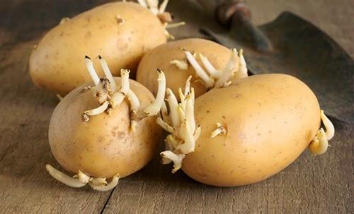 Tác hại của khoai tây đã mọc mầm