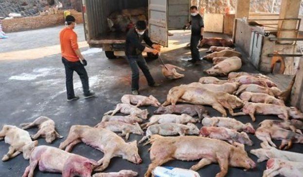 Bệnh dịch tả lợn châu Phi ở Việt Nam