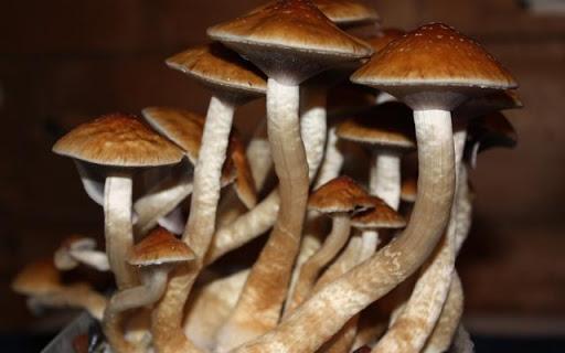Nấm thức thần, hay còn gọi nấm thần kỳ, nấm ma thuật, nấm Psilocybe