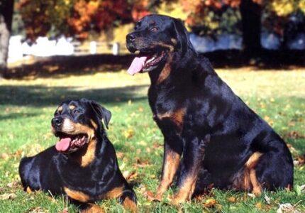 Chó Rottweiler ăn gì