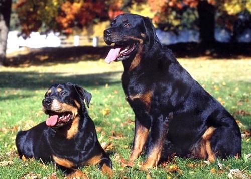 Chó Rottweiler ăn gì?