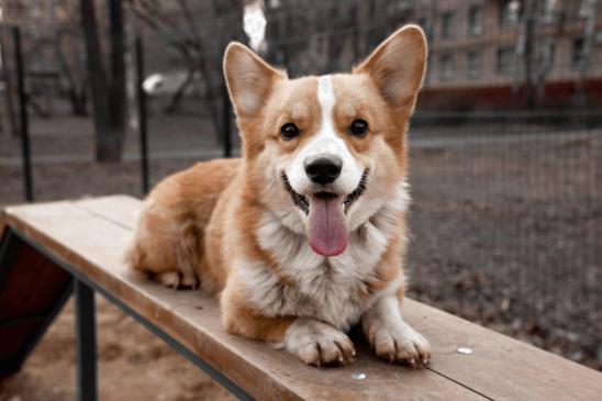 Chó Corgi ăn gì? Chế độ dinh dưỡng của chó Corgi